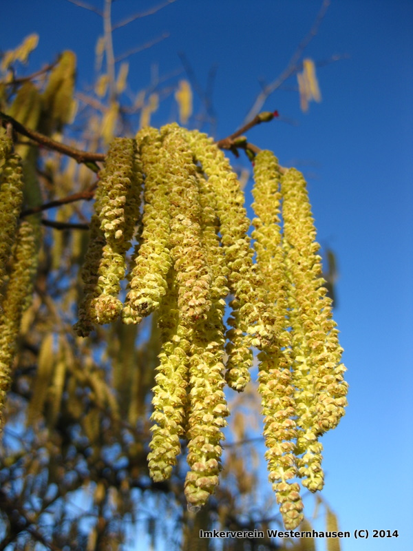 Haselnuss-Pollen